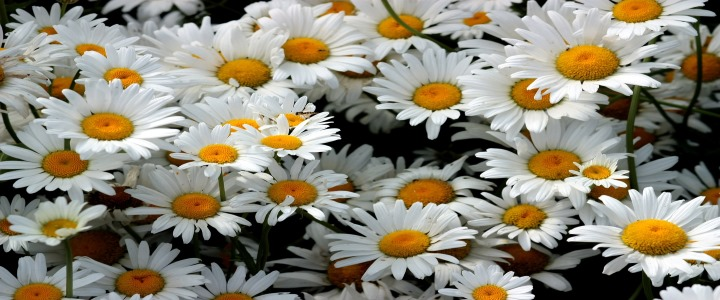 Close-up of a group of daisies.